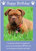 "Dogue de Bordeaux-Happy Birthday - ""I'm Adopted"" Theme"